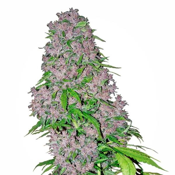 white label purple bud review
