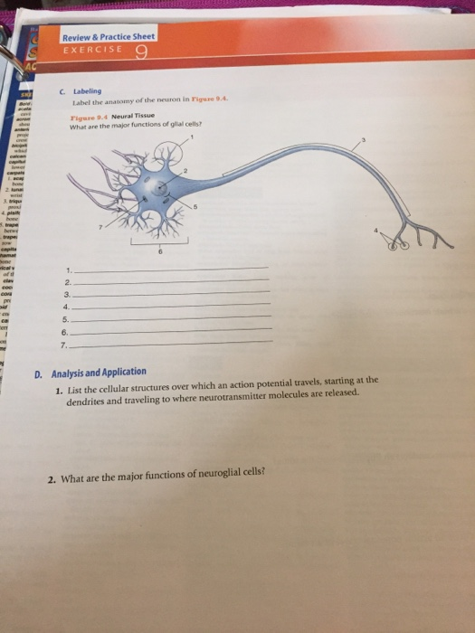 neuron anatomy and physiology review sheet